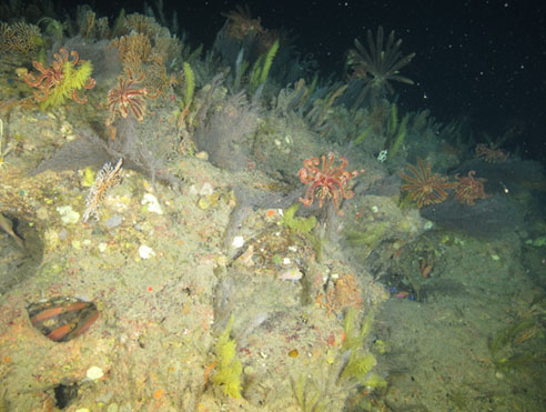 dense community of black corals and crinoids on Elvers Bank in northwestern Gulf of Mexico
