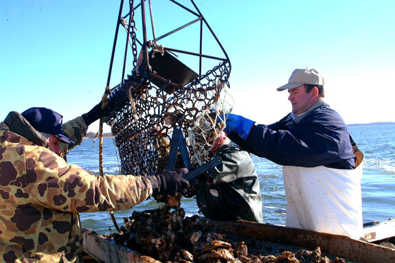 Harvesting oysters with an oyster dredge.