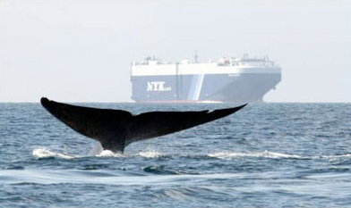 A whale passes through an area with heavy ship traffic off the California coast.