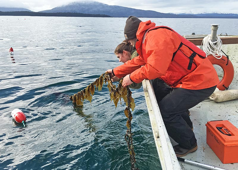Scientists check a longline outplanting of sugar kelp at an experimental site near Coghlan Island, Alaska.