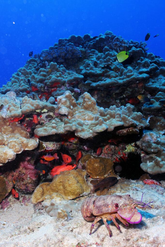 A regal slipper lobster (Arctides regalis) patrols a busy coral reef habitat of massive Porites and encrusting Monitpora corals off the coast of Molokai in the main Hawaiian Islands.