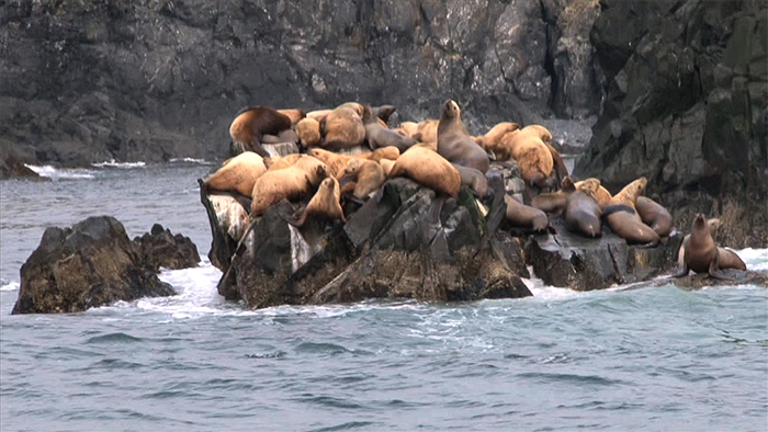 image of California sea lions, are becoming sick, and dying in some cases, from ingesting domoic acid, a neurotoxin that accumulates in the fish and shellfish they consume.