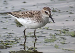 Shoreline Hardening and Development Hurts Shorebirds and Waterfowl