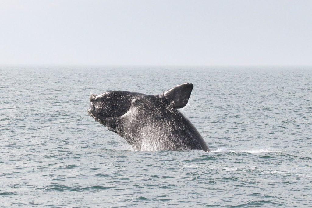 image of the endangered North Atlantic Right whale