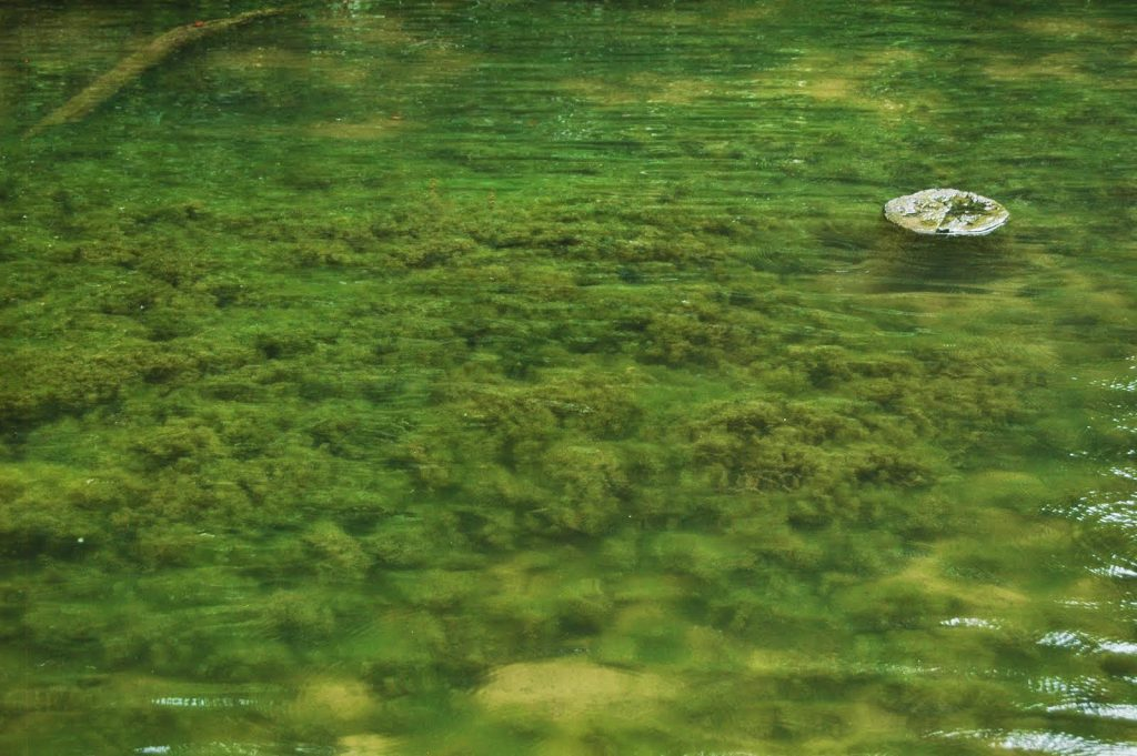 Lyngbya cyanobacteria growing in a lake.