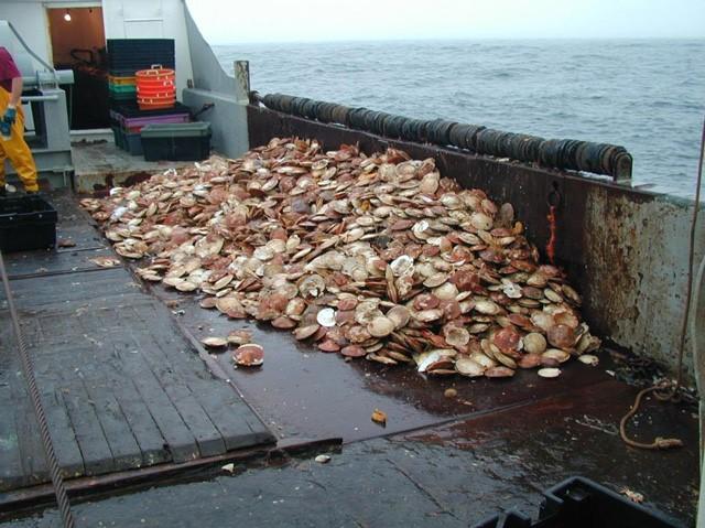 Sea scallop harvest.