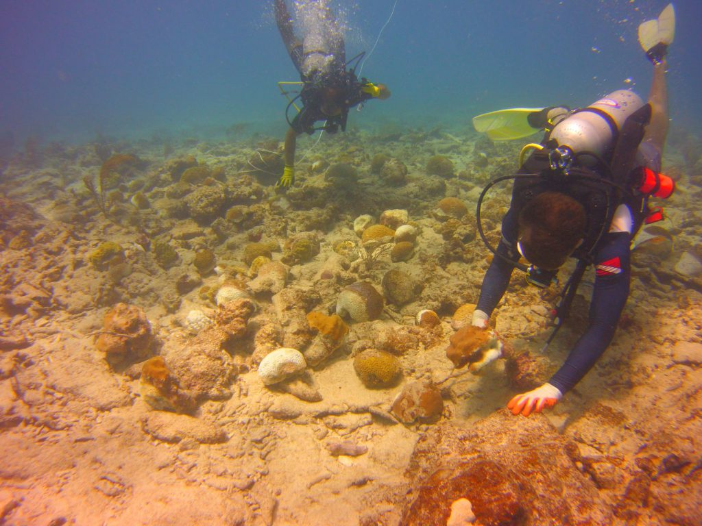 Divers cache coral fragments for emergency stabilization in Puerto Rico.