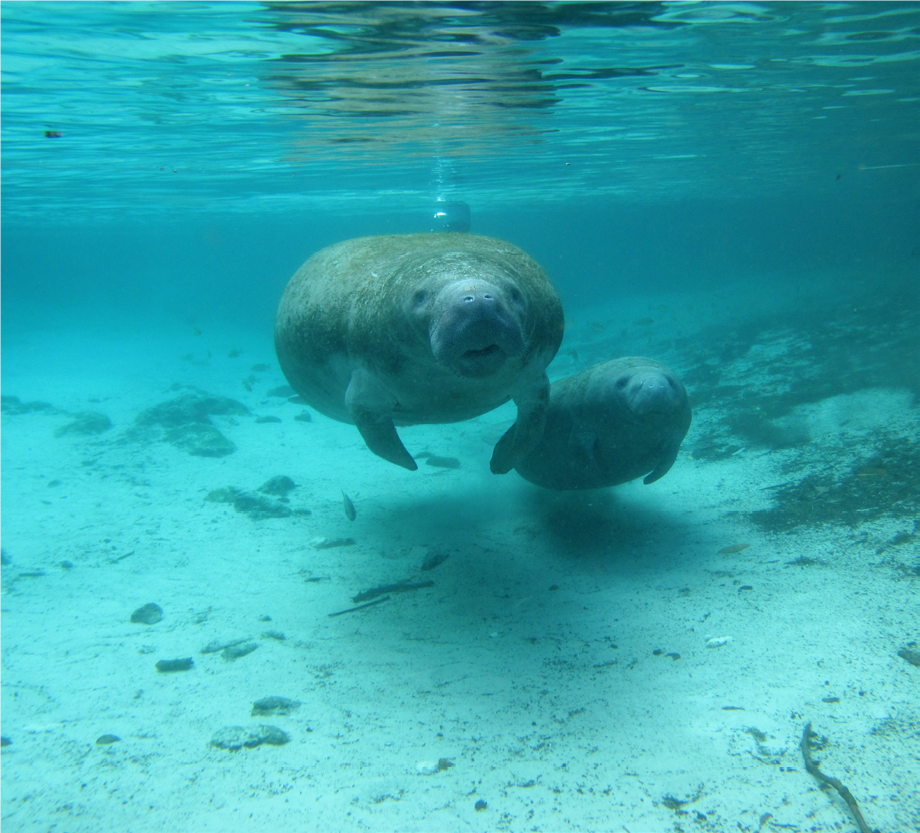 Manatee and calf. USGS