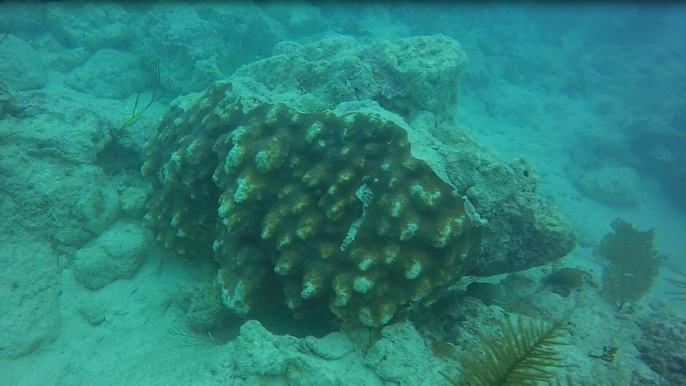 A large Orbicella franksi colony dislodged along the Florida Reef Tract.