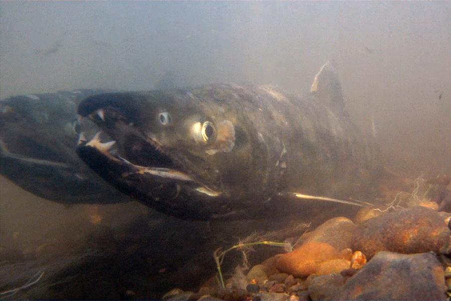 Chum salmon (Oncorhynchus keta).