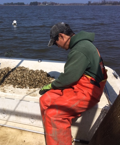 NCCOS Scientist Helps Maryland Oyster Grower Decide to Relocate Oysters