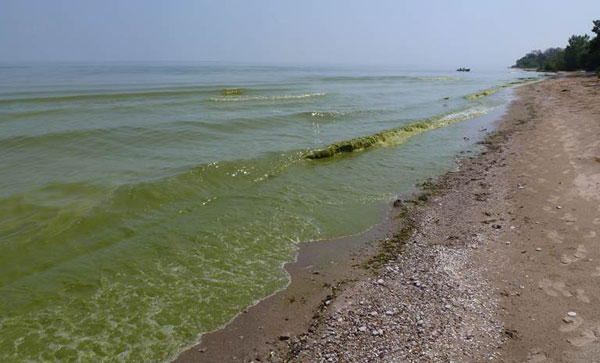 Image of cyanobacteria bloom in Lake Erie on August 19, 2011, one of the worst bloom years on record.