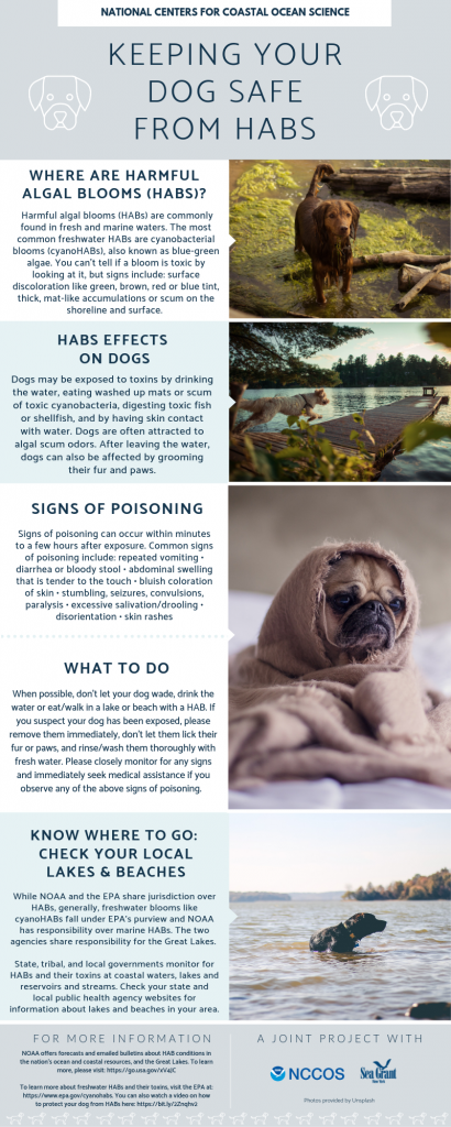 Keeping your dog safe from habs. Where are harmful algal blooms (HABs)? Harmful algal blooms (HABs) are commonly found in fresh and marine waters. The most common freshwater HABs are cyanobacterial blooms (cyanoHABs), also known as blue-green algae. You can't tell if a bloom is toxic by looking at it, but signs include: surface discoloration like green, brown, red or blue tint, thick, mat-like accumulations or scum on the shoreline and surface. HABS Effects on Dogs: Dogs may be exposed to toxins by drinking the water, eating washed up mats or scum of toxic cyanobacteria, digesting toxic fish or shellfish, and by having skin contact with water. Dogs are often attracted to algal scum odors. After leaving the water, dogs can also be affected by grooming their fur and paws. Signs of poisoning: Signs of poisoning can occur within minutes to a few hours after exposure. Common signs of poisoning include: repeated vomiting • diarrhea or bloody stool • abdominal swelling that is tender to the touch • bluish coloration of skin • stumbling, seizures, convulsions, paralysis • excessive salivation/drooling • disorientation • skin rashes What to do: When possible, don't let your dog wade, drink the water or eat/walk in a lake or beach with a HAB. If you suspect your dog has been exposed, please remove them immediately, don't let them lick their fur or paws, and rinse/wash them thoroughly with fresh water. Please closely monitor for any signs and immediately seek medical assistance if you observe any of the above signs of poisoning. KNOW WHERE TO GO: Check your local lakes & beaches: While NOAA and the EPA share jurisdiction over HABs, generally, freshwater blooms like cyanoHABs fall under EPA's purview and NOAA has responsibility over marine HABs. The two agencies share responsibility for the Great Lakes. State, tribal, and local governments monitor for HABs and their toxins at coastal waters, lakes and reservoirs and streams. Check your state and local public health agency websites for information about lakes and beaches in your area. FOR MORE INFORMATION: NOAA offers forecasts and emailed bulletins about HAB conditions in the nation's ocean and coastal resources, and the Great Lakes. To learn more, please visit: https://go.usa.gov/xV4JC To learn more about freshwater HABs and their toxins, visit the EPA at: https://www.epa.gov/cyanohabs. You can also watch a video on how to protect your dog from HABs here: https://bit.ly/2Znqhv2