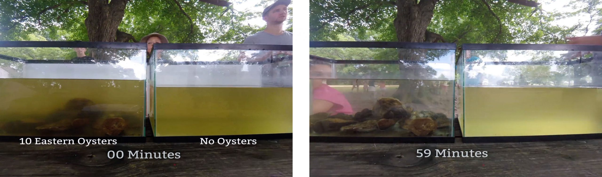 Oyster filter feeding demonstration at shows how quickly oysters can filter algae from the water.