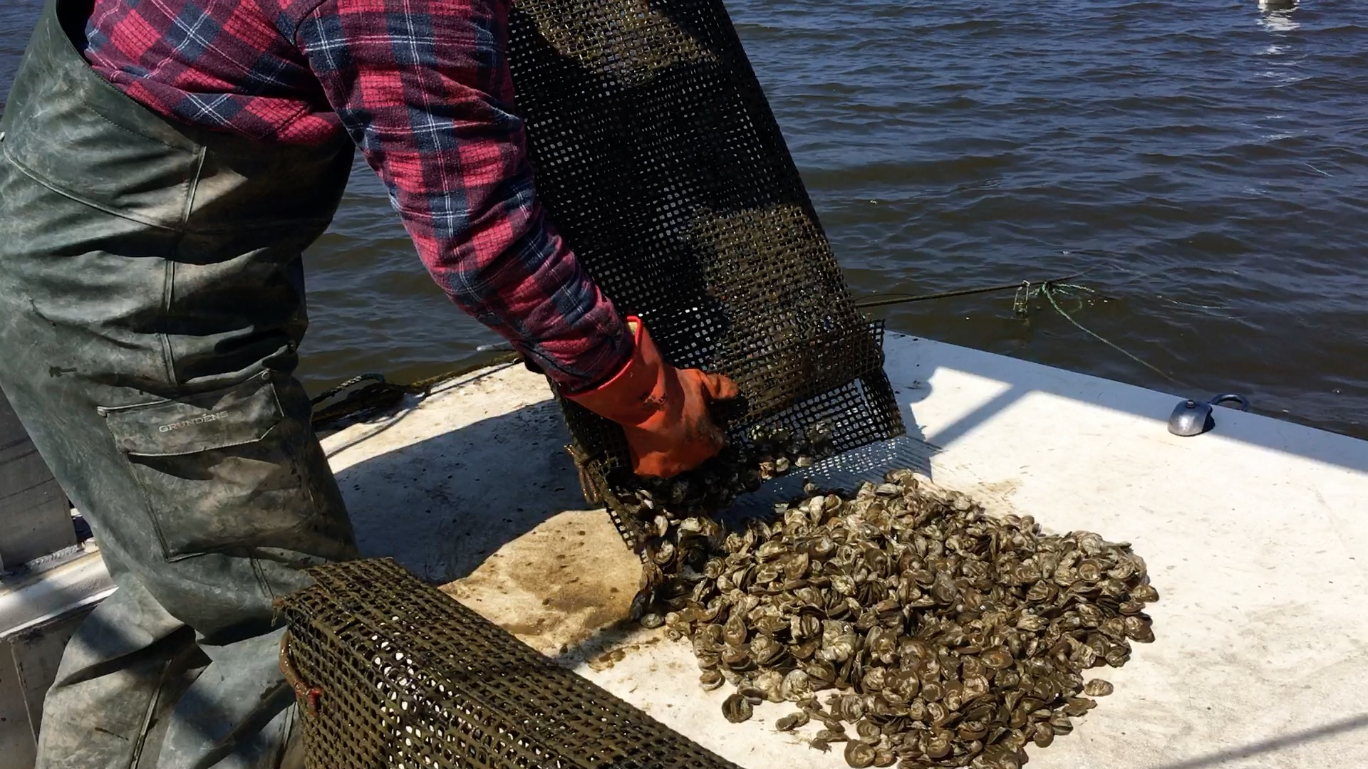 image of grower inspecting oyster pot for mortalities