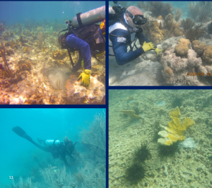 Coral Assessment and Restoration Results Released for U.S. Caribbean After 2017 Hurricanes