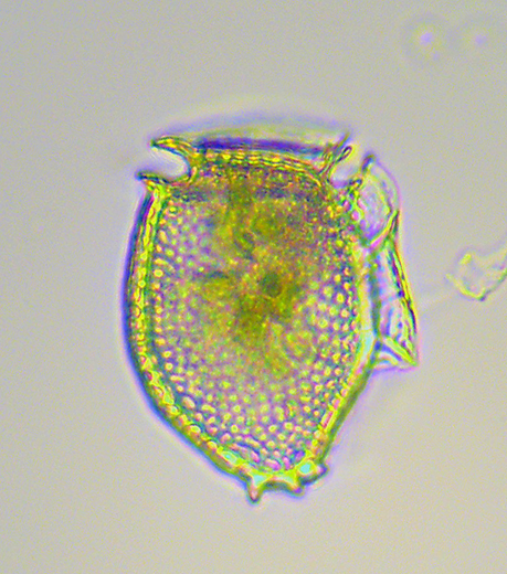 HAB Toxin of Unknown Origin Linked to a Dinoflagellate Alga in the Gulf of Maine