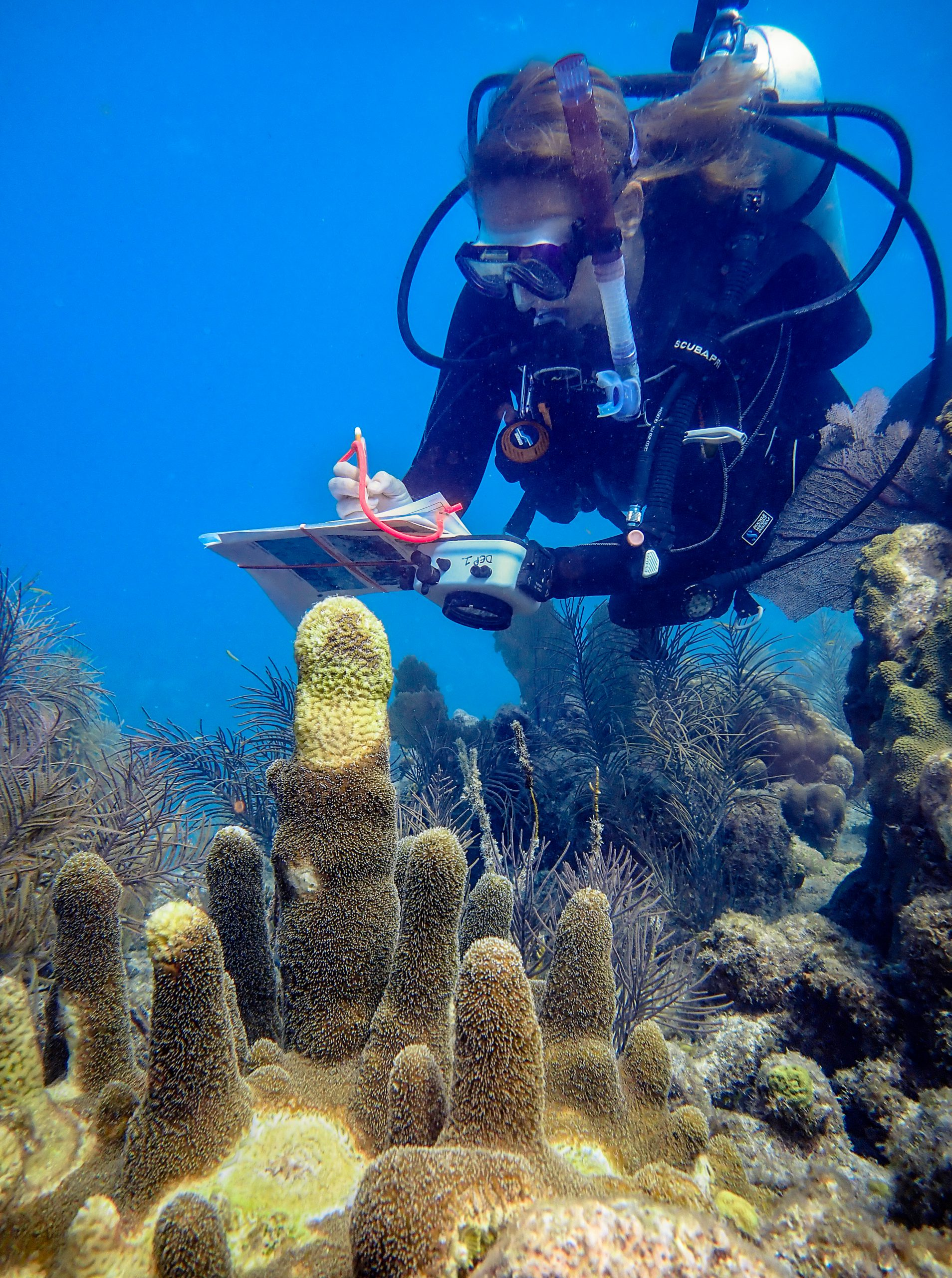 Research diver documents stony coral tissue loss disease in pillar coral along Florida Reef Tract, 2019.