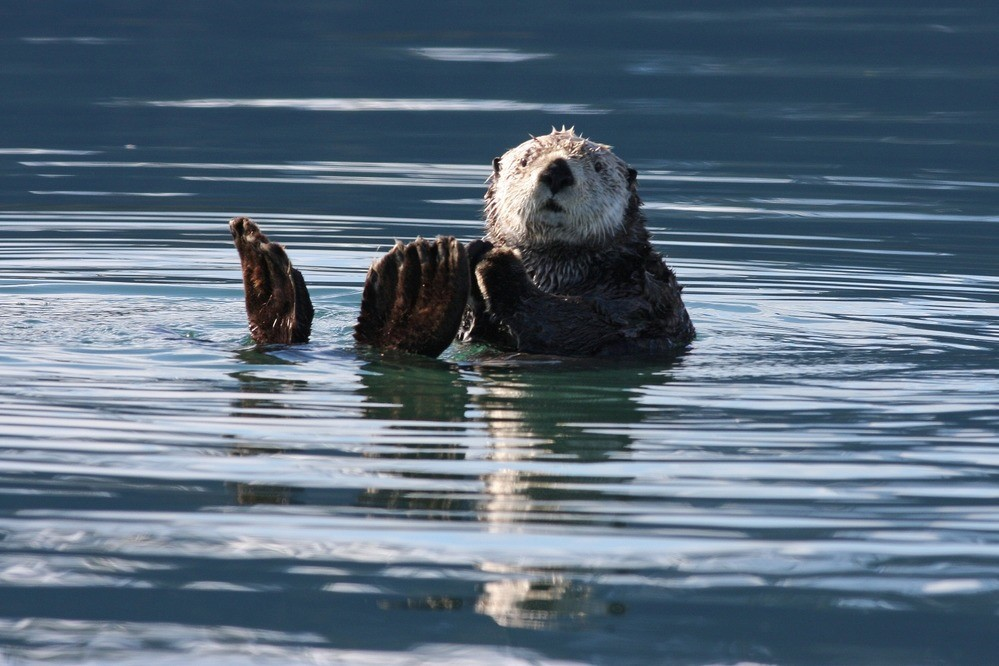 Exploring Population Variability of Sea Otters in Kachemak Bay (Story Map)