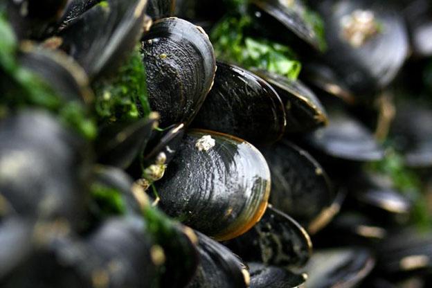 Blue Mussels (Mytilus edulis).