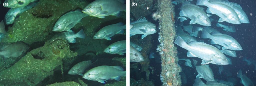 Study Illuminates Patterns in Atlantic Deep-Water Grouper Hotspots