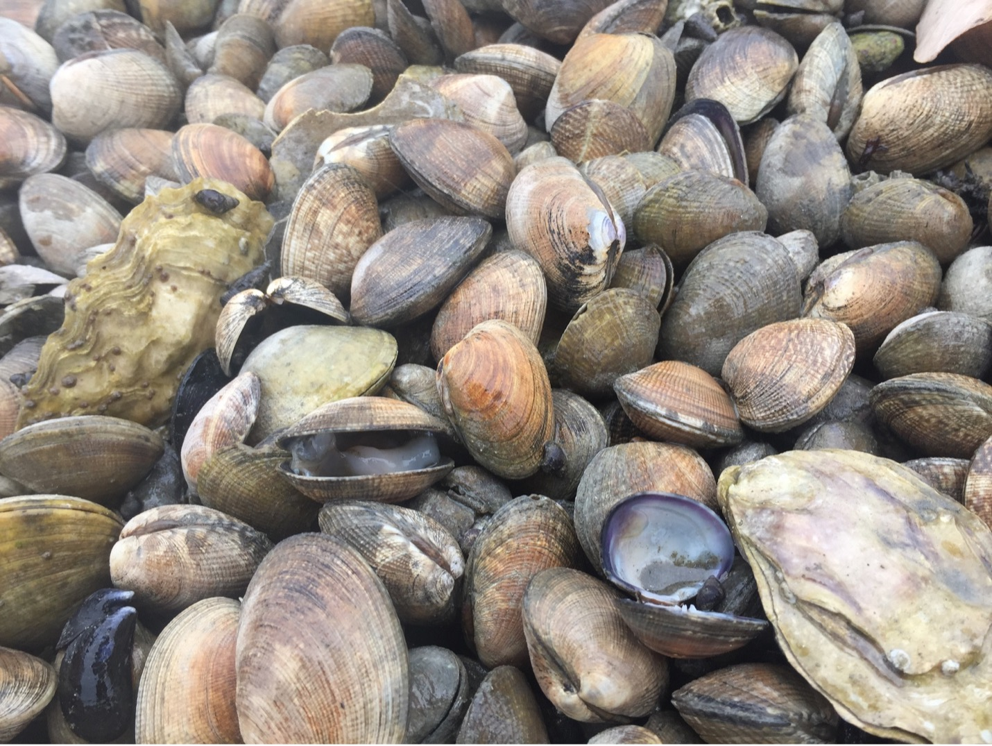 Researchers Discover <i>Yessotoxins</i> to be a Culprit Behind Summer Mass Shellfish Mortality Events in Washington