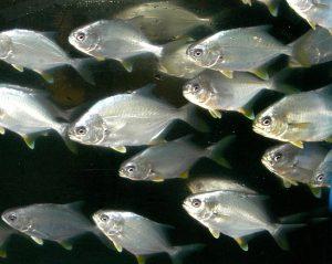 NOAA Identifies Florida Pompano as Commercially Ready for U.S. Marine Aquaculture