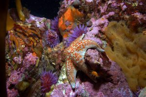 A leather sea star clings to a rock