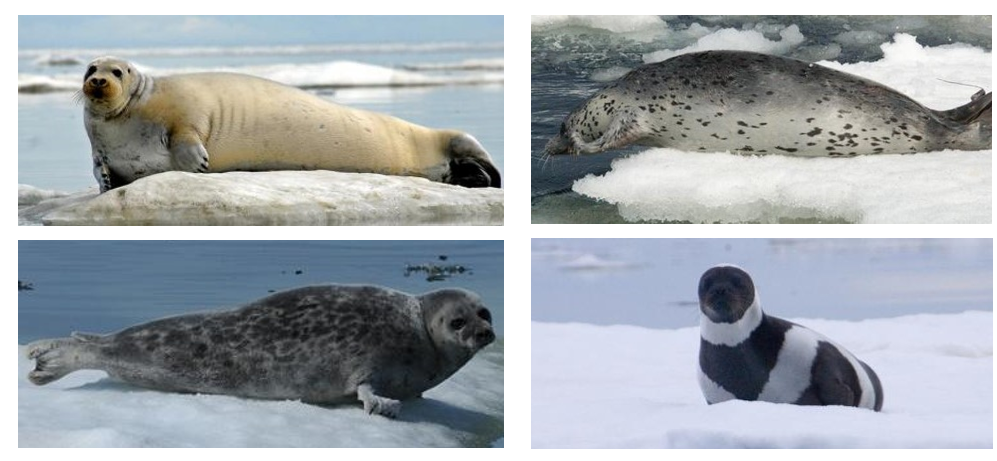 Ice Seals as Sentinels for Algal Toxins in the Pacific Arctic