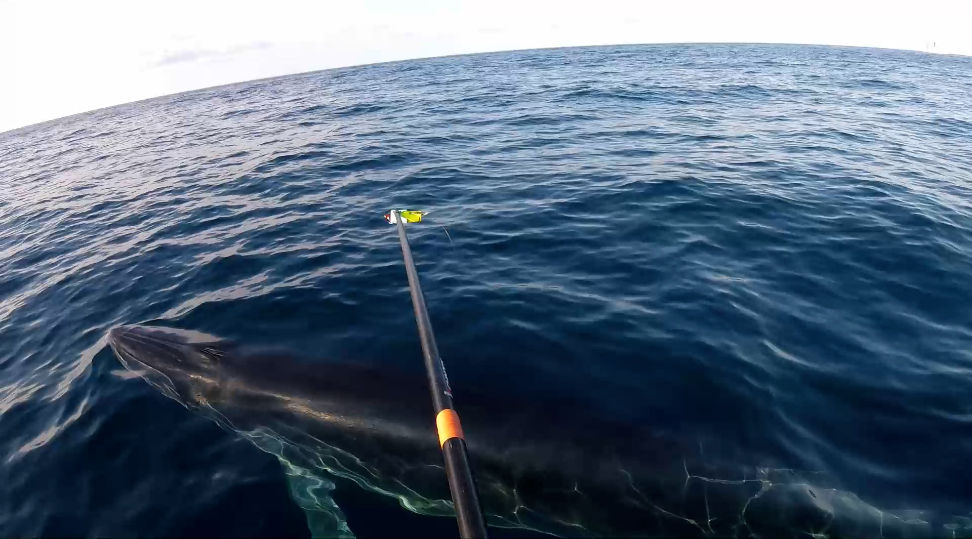 Researcher with Dr. Garrison's team deploys telemetry tag on Rice's whale, which will track whale's location and collect data on its environment, July 2021.