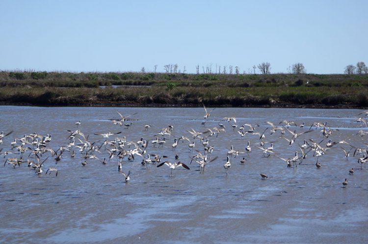 A landscape of groups of shorebirds using restored wetlands.
