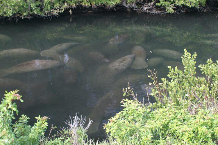 Manatees in a natural artesian spring-fed creek along the Gulf Coast of Florida.