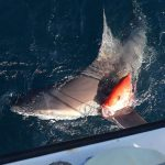 A shark swims underneath a half-eaten red snapper.