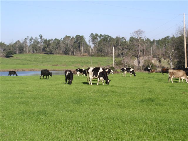 Cattle graze in a coastal county near the Gulf of Mexico.