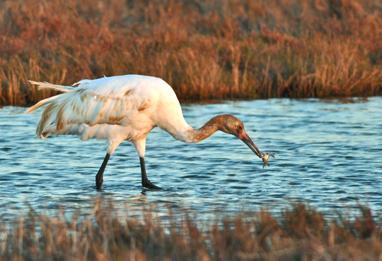 A whooping crane eating a crab in a marsh